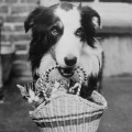A Dog Collie with Kittens