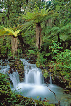 Creek with tree ferns