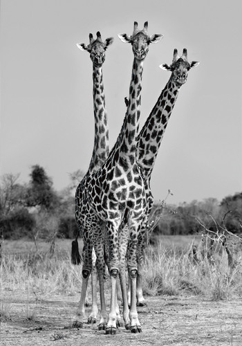 Giraffes Three