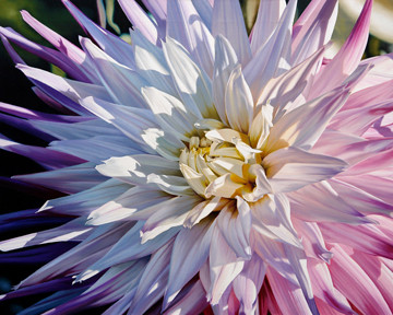 Another Dazzling Dahlia