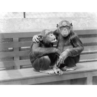 At the zoo, Chimpanzees