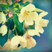 Natures Apple Blossom