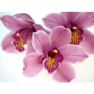 Orchid Kiss