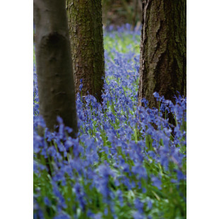 Bluebell Wood l