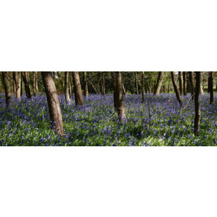Bluebell Wood lI